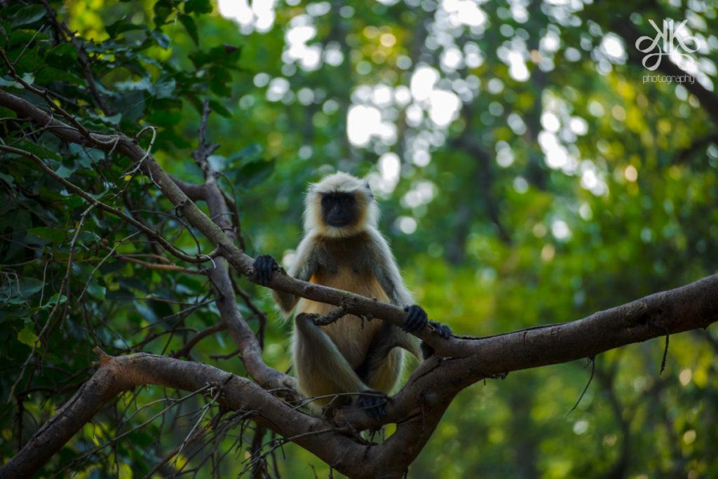 Tiger-Bandhavgarh-Tiger-Reserve-MP-KaynatKazi-Photography-2016-17-of-17