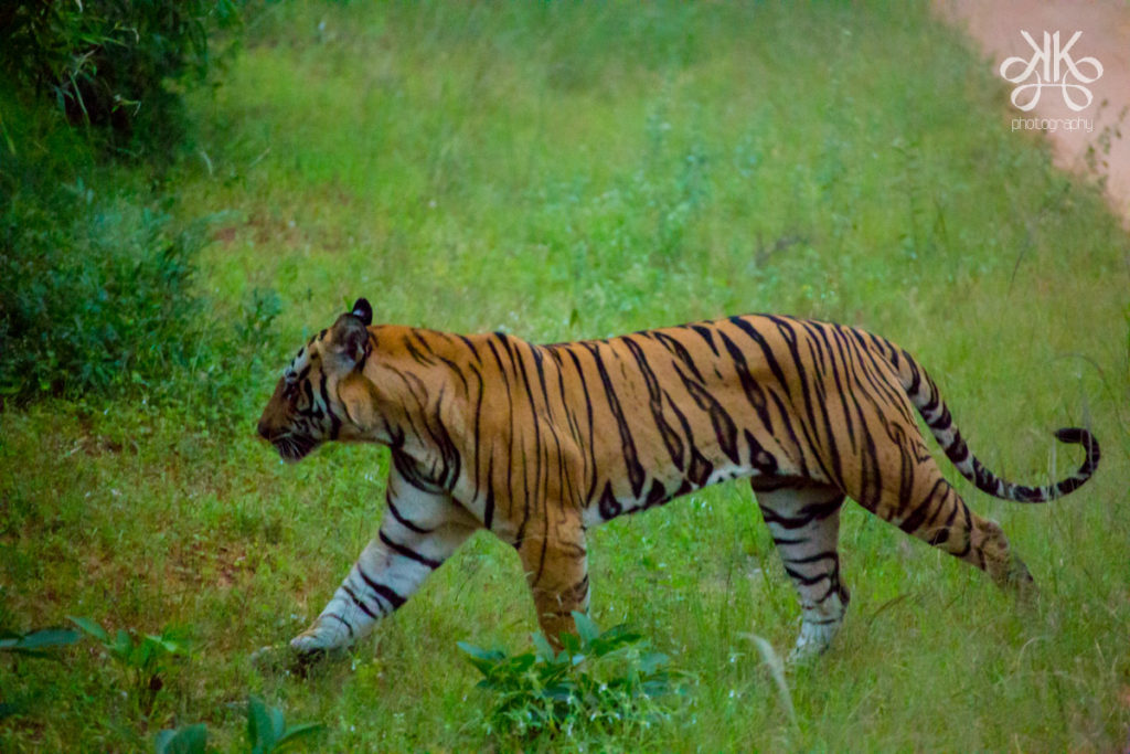 Tiger-Bandhavgarh-Tiger-Reserve-MP-KaynatKazi-Photography-2016-3-of-17
