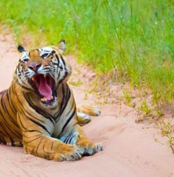 Tiger-Bandhavgarh-Tiger-Reserve-MP-KaynatKazi-Photography-2016-4-of-17-960x636