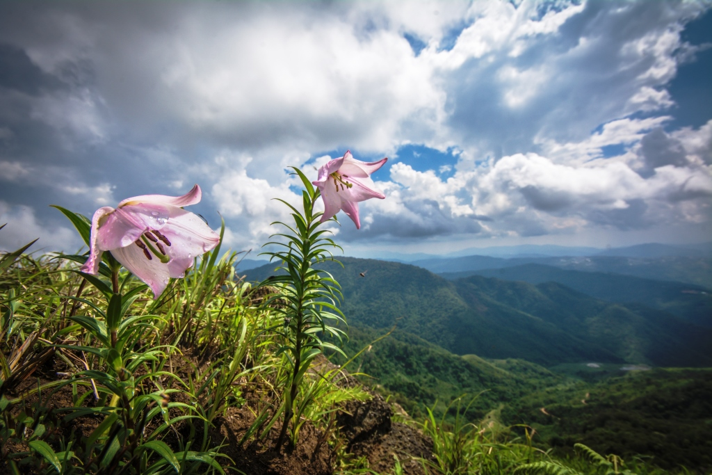 Shirui Hill and its Lilies-Priyojik Akoijam